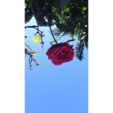 My flower is up there